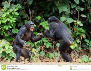 fighting-chimpanzee-bonobo-pan-paniscus-democratic-republic-congo-africa-36707241