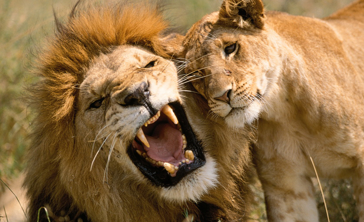 lioness-and-lion-love-i12